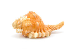 Seashell sur le fond blanc Photos stock