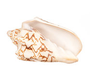 Seashell sur le fond blanc images stock