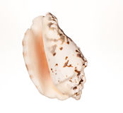 Seashell sur le fond blanc photo stock