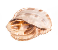 Seashell sur le fond blanc photo libre de droits
