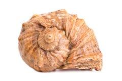 Seashell sur le fond blanc image libre de droits