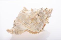Seashell sur le fond blanc photographie stock