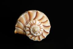 Seashell sur le noir photographie stock libre de droits