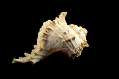 Seashell sur le noir Photo libre de droits