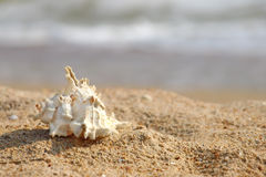 Seashell sur une plage sablonneuse. photos stock