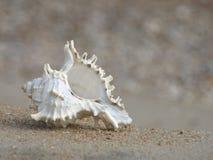 Seashell sur une plage sablonneuse. Plan rapproché. photo libre de droits