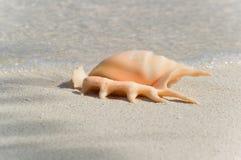 Seashell svasato e munito di punte della conca del ragno Fotografia Stock Libera da Diritti