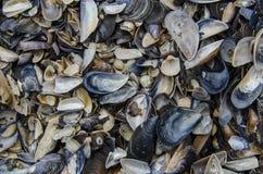 Seashell tekstura obraz royalty free