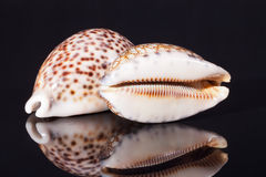 Seashell of tiger cowry  on black background Stock Image