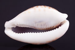 Seashell of tiger cowry isolated on black background Stock Photo