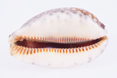 Seashell of tiger cowry isolated on white background Royalty Free Stock Image