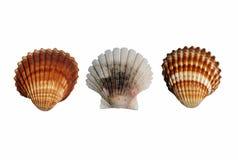 seashell trzy Obraz Royalty Free