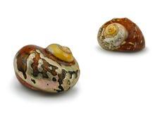 Seashell Turbo Sarmaticus Zdjęcie Stock