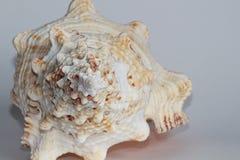 Seashell Tutufa dymienica zdjęcie stock