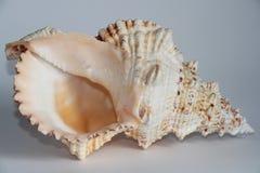 Seashell Tutufa dymienica zdjęcia royalty free