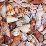 Seashell variety Royalty Free Stock Photos