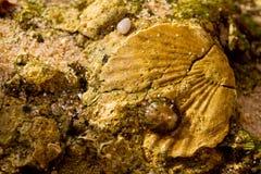 Seashell w kamieniu Zdjęcia Royalty Free