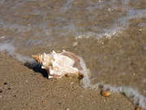 Seashell washed ashore Stock Photo