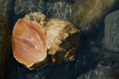 Seashell in water Royalty Free Stock Image