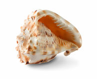 Seashell on white Stock Photo