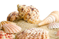 Seashell  on white Royalty Free Stock Images