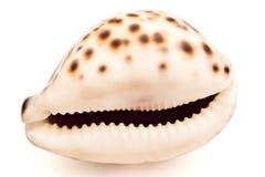 Seashell on white Royalty Free Stock Photos