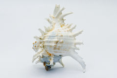 Seashell on the white background Stock Images