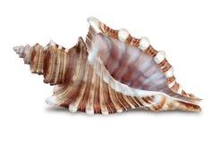 Seashell. On a white background Stock Photo