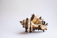 Seashell. On white background Royalty Free Stock Images