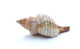 Seashell on white background. Seashell on a white background, close up Royalty Free Stock Photography
