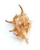 Seashell on white background Royalty Free Stock Photography