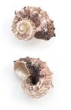 Seashell on white background Stock Photography