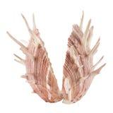 Seashell on white background. Stock Photos