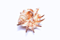 Seashell  on white background Stock Image