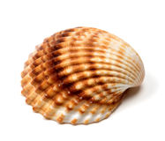 Seashell on white Stock Image