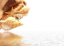Seashell on white and their reflexion in water. Seashell on white their reflexion in water Stock Photo