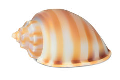 Seashell,  on white. Stock Images