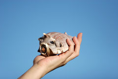 Seashell in woman's hand Royalty Free Stock Photography