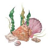 Seashells акварели нежные Стоковое Изображение