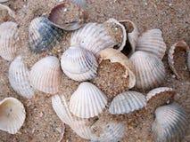 Seashells в песке Стоковые Фото