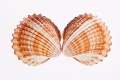 2 seashells изолированного на белой предпосылке Стоковое фото RF