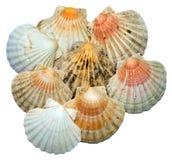 seashells изолированные предпосылкой белые Стоковая Фотография RF