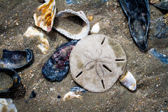 Seashells и доллар песка на пляже залива ботаники Стоковые Изображения