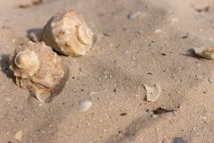 2 seashells на белом крупном плане песка Концепция раковин Украшение Марины пузыри копируют вектор текста космоса seaweeds моря ж стоковое изображение rf