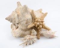 Seashells на белизне Стоковое Фото