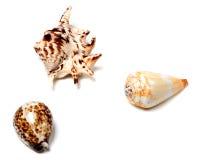 3 seashells на белизне Стоковое Изображение RF