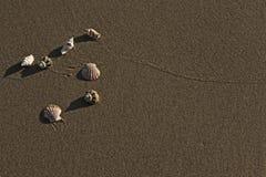 Seashells на песчаном пляже стоковое фото