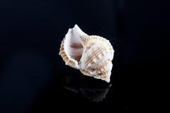 Seashells на черном sealife предпосылки Стоковые Изображения