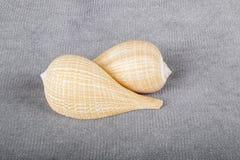 2 Seashells общих смоквы Стоковое Изображение