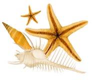 seashells предпосылки красивейшие белые Стоковая Фотография RF